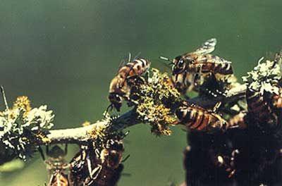 Abeille Africaine, l'Abeille tueuse - Insectes - Frawsy