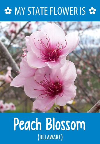 #Delaware's state flower is the Peach Blossom. What's your state flower? http://pinterest.com/hometalk/hometalk-state-flowers/
