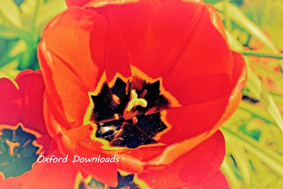 Red Tulip Photography Tulip Print Floral Print by OxfordDownloads