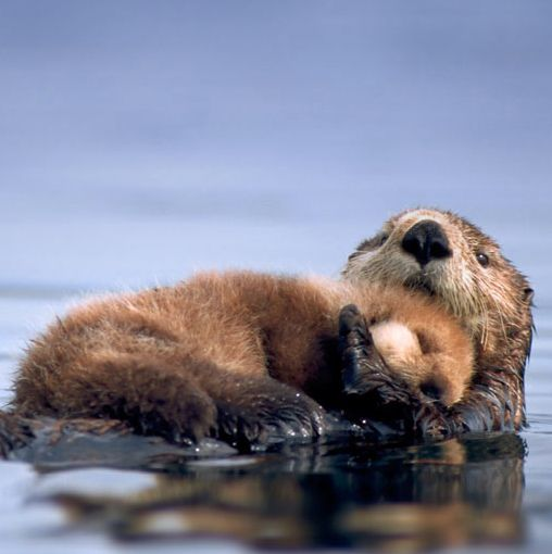 Sea otters, despite legal protections, continue to  face suffering and extinction from environmental pollution and hunting at the hands of ignorant and cruel human beings. Stop them from dying from oil spills and the worst of humanity here: http://gifts.worldwildlife.org/gift-center/gifts/Species-Adoptions/Sea-Otter.aspx