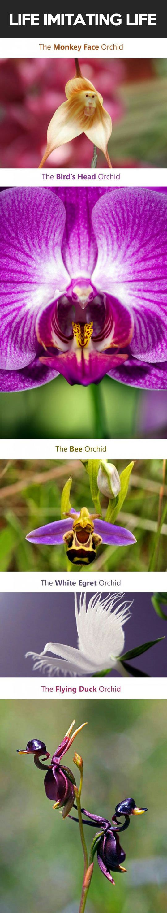 cool-flowers-imitating-nature-animals-orchid