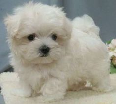 #maltipoo puppy, I want this little cutie pie!!!!   ...........click here to find out more     http://googydog.com