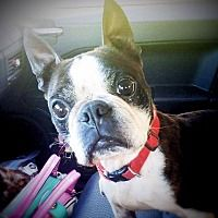 Cleveland, Ohio Boston Terrier. Meet Lady Doodlebug, a