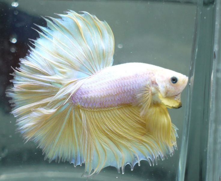 637 best images about the simese fighting fish bettas on for Betta tropical fish