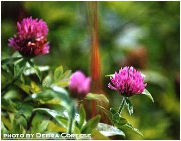 Red Clover uses:    Medicinal - dry coughs, sore throat, relief of menstrual cramps, and more    Edible - tea, lemonade, fresh greens, fresh flowers in salads, syrup, jelly