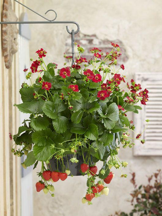 Heng en jordbærplante i ampel på terrassen og nyt egenproduserte jordbær.