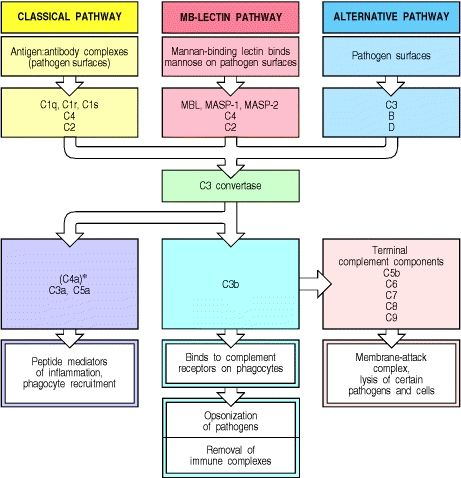 Overview of the main components and effector actions of the complement system.