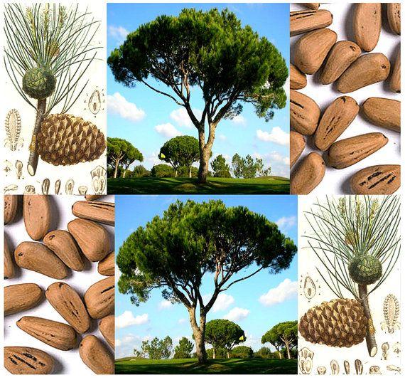 ITALIAN STONE PINE Seed Pinus pinea Tree by ALLooABOUTooSEEDS pinjetræ