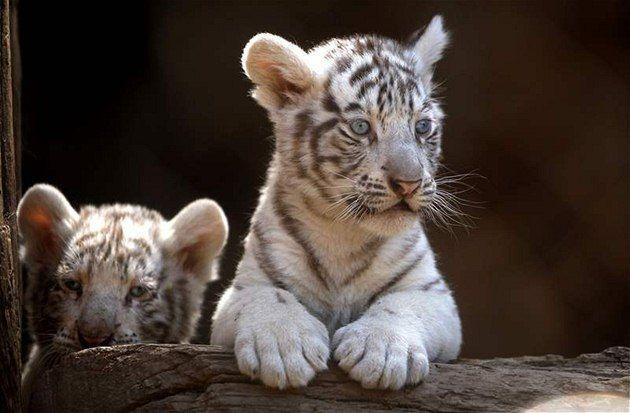 V liberecké zoo se po letech narodili bílí tygři, hned ale uhynuli ...