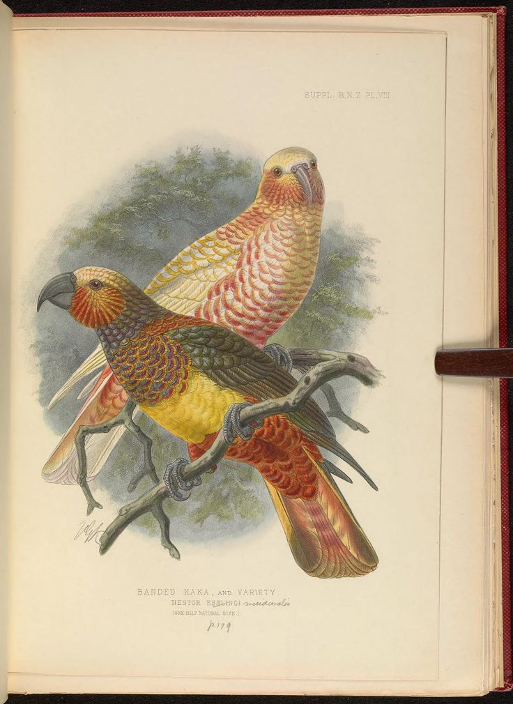 1905 - Supplement to the 'Birds of New Zealand' - by Walter Lawry Buller