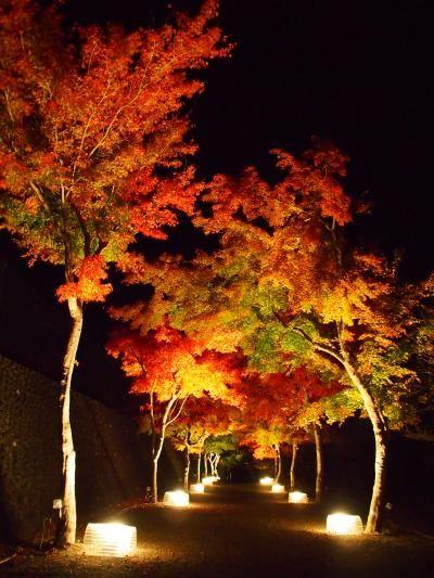 Japanese Maples in Fuji Yoshida, Yamanashi, Japan 富士吉田