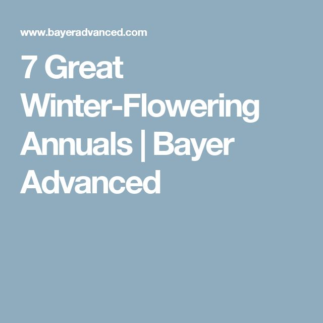 7 Great Winter-Flowering Annuals   Bayer Advanced