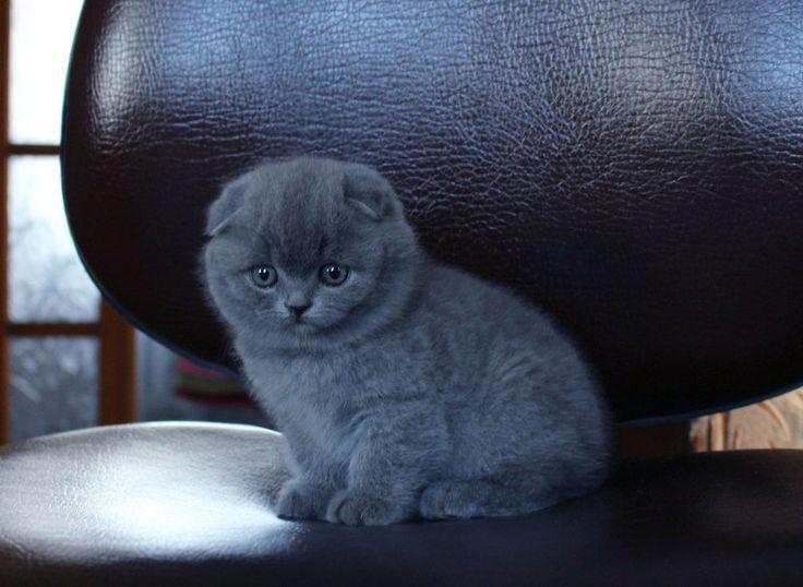 Шотландские вислоухие котята, фото 2