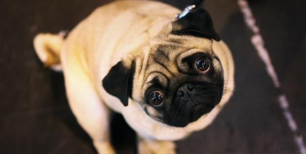 : Eye Explained,  Pug-Dog, News, Dogs Show, Pugs Dogs, Pet Treatsfoodrecallsarticl, Pugs Inva, Pet Food, Animal