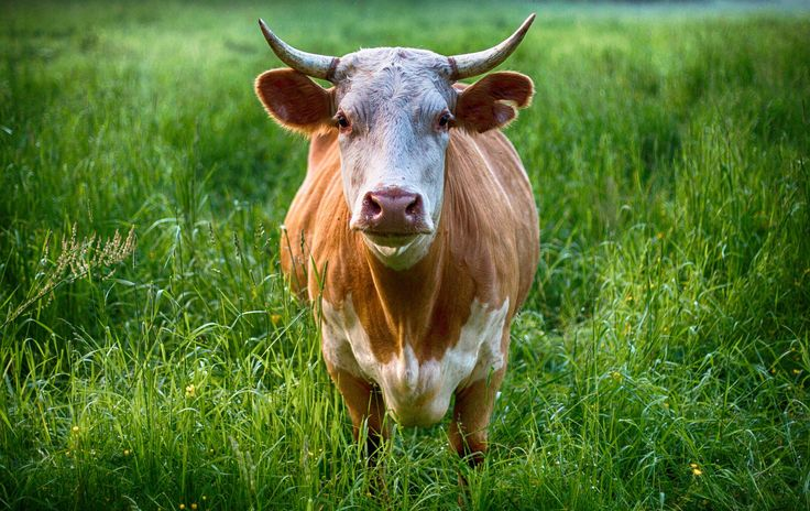 <p>In a new report by the research company, using their carbon calculator, GCE determined that people who eat meat daily produce 2.8 tons of carbon dioxide annually.</p>