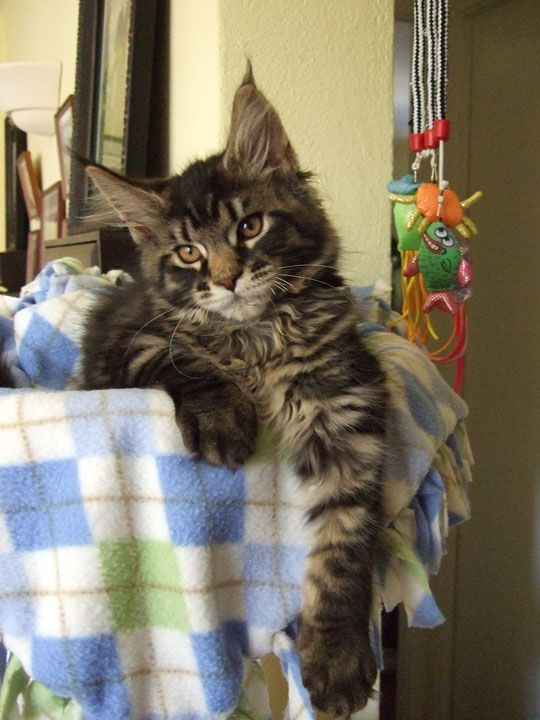 Sweet giants maine coon
