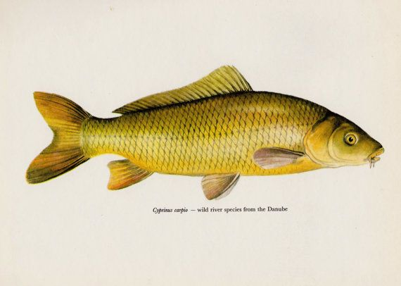 Common Carp Print Beautiful Fish Print Fishing by plaindealing