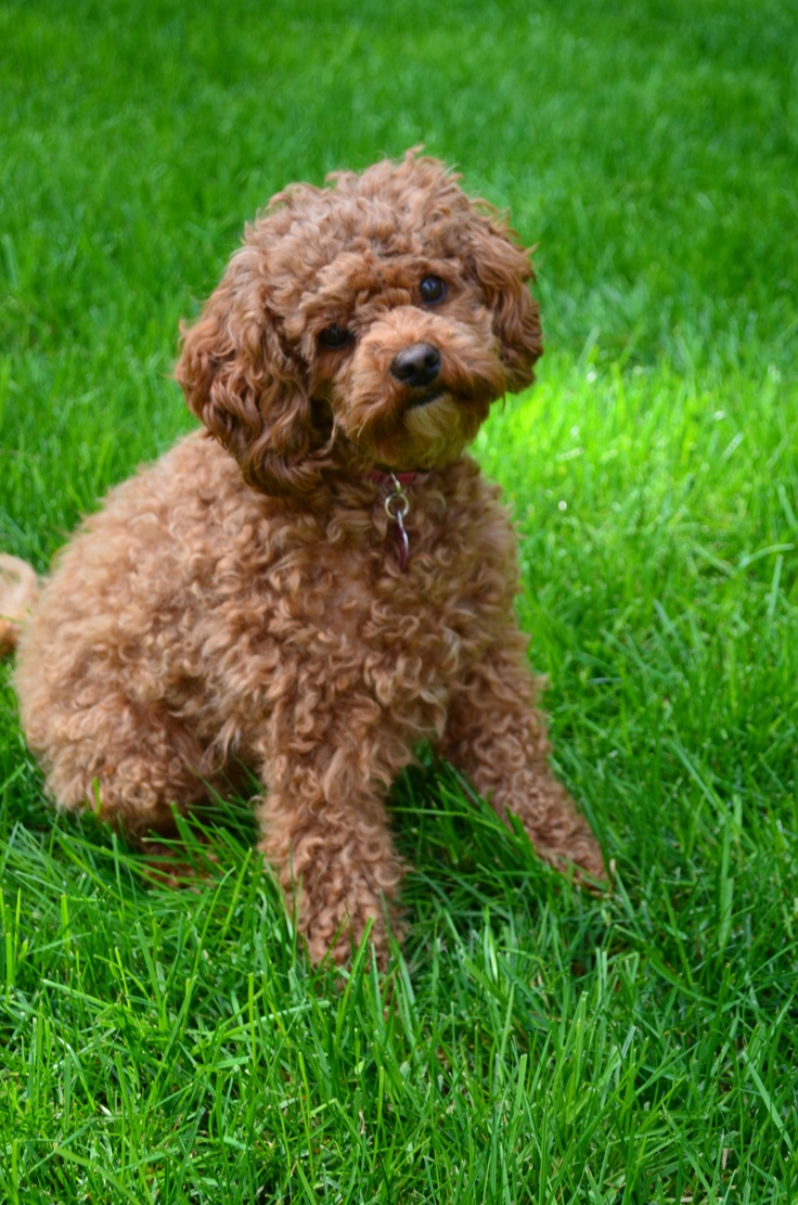 Labradoodle Dog Pictures Puppys