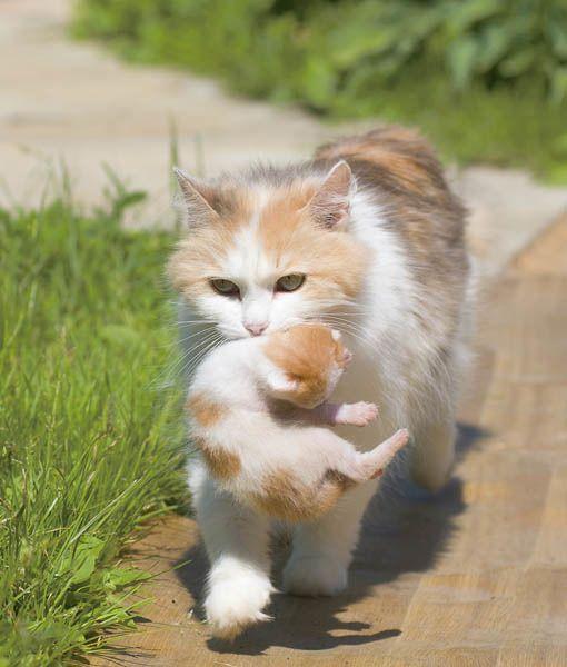 Beautiful momma carries her matching kitten home:)