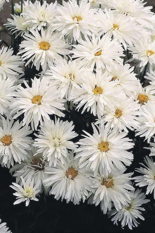 Shasta Daisy, Crazy Daisy. --- plus other Shasta Daisies from Swallowtail Seeds.