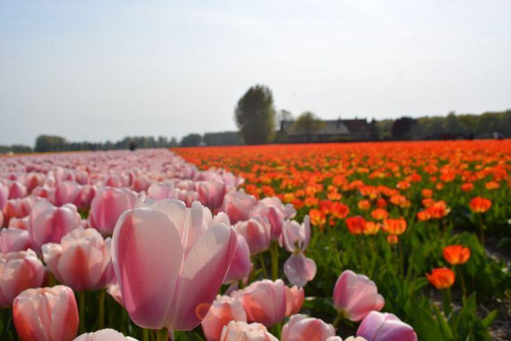 Hay momentos en la vida en que los planetas se alinean y las cosas ocurren. Este sueño viajero es la historia de Holanda y sus campos de Tulipanes.