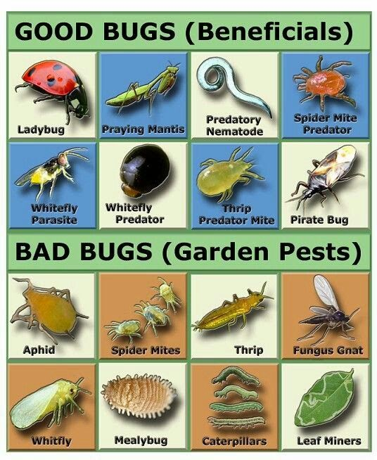 Pin by mike short on gardening garden pests garden bugs - Identifying insect eggs in the garden ...