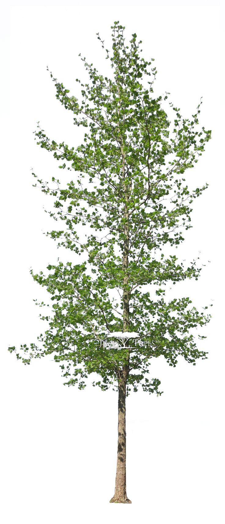 Platanus acerifolius | Common name: London Plane | Spring 2