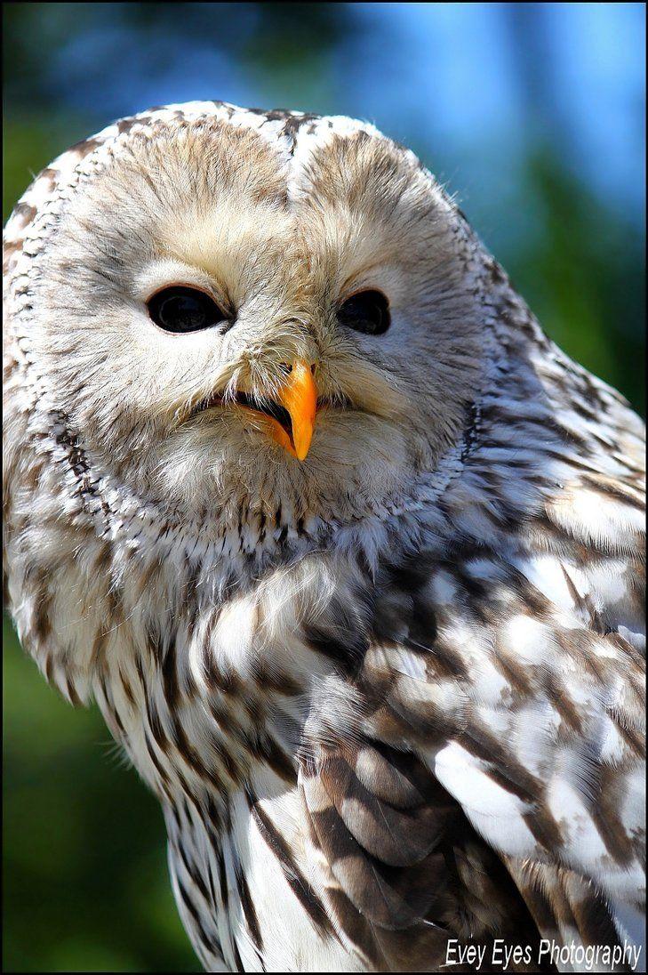 Zouzou, ural owl, Paradisio Park - Belgium. by *Evey-Eyes on deviantART