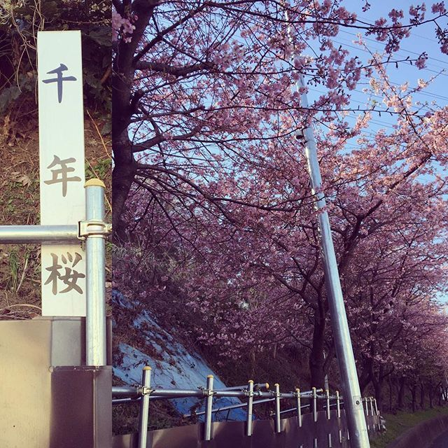【usaminmin.tr】さんのInstagramをピンしています。 《兄と甥っ子が家に来てくれました。私の新しい机を届けに〜。その際に食事にいき、桜が早くも桜が咲いてました(^ ^)!! ハヤイヨ。家での仕事終わったらトレーニングにいきます♫今日は背中♩  #桜#梅#千年新町#武蔵新城#トレーニング#背中#加圧トレーニング#幸楽苑#甥っ子#workout #フィジーク#ベストボディジャパン#兄弟》