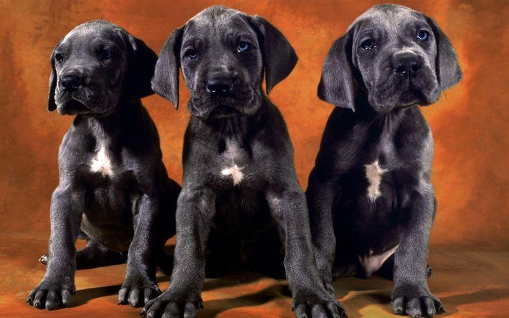 black labs #puppies