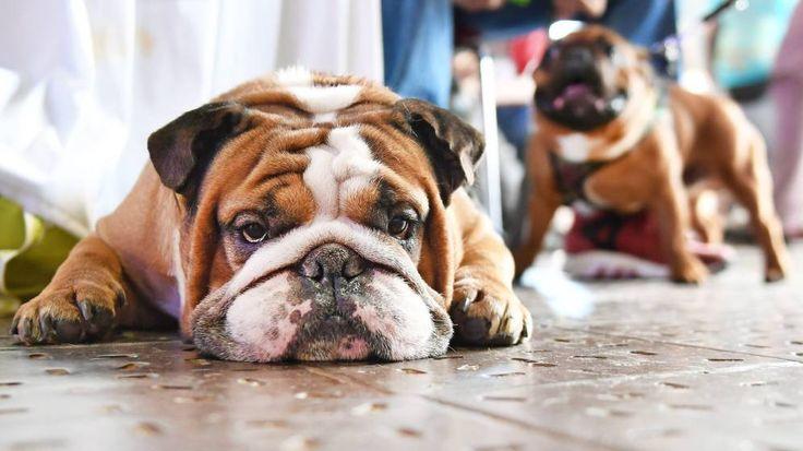 Giardiasis en perros: Causas síntomas y tratamiento