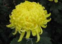 Knowing Yellow Chrysanthemum Meaning in Japan and Chinese | Chrysanthemums.org
