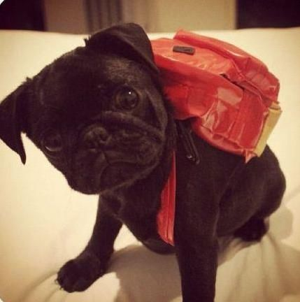 pug with a backpack