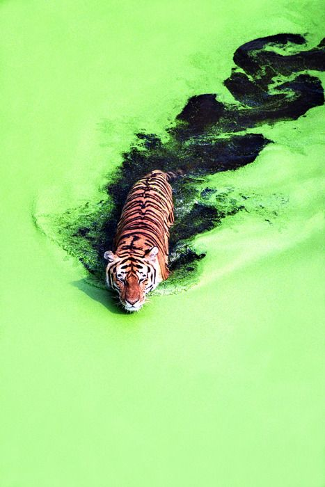 The association of the tiger and the green lake are both something to be related to the environment especially the semiotics of the colour green. The disturbance make by the tiger reveals the dark water which has the same resemblance as smoke which causes damage to the environment.