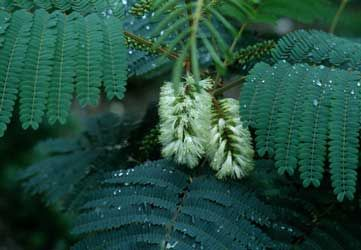 Albizia amarilla, Albicia, Acacia plumosa, Albizia de plumas.