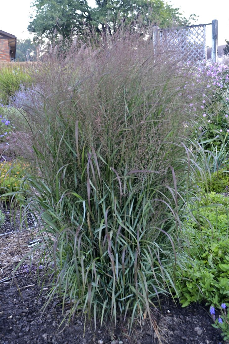 29 best images about landscaping ideas for my back yard on for Ornamental prairie grass