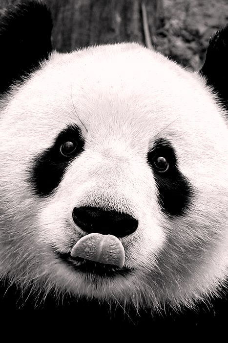 This panda is hungry for some cookies! More