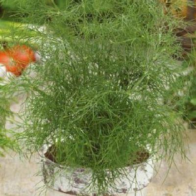 Marar Delikat. Caracteristic pentru mararul Delikat sunt varfurile fragede si frunzisul des si jos, un soi este perfect daca doriti sa recoltati tot timpul plante aromate proaspete.