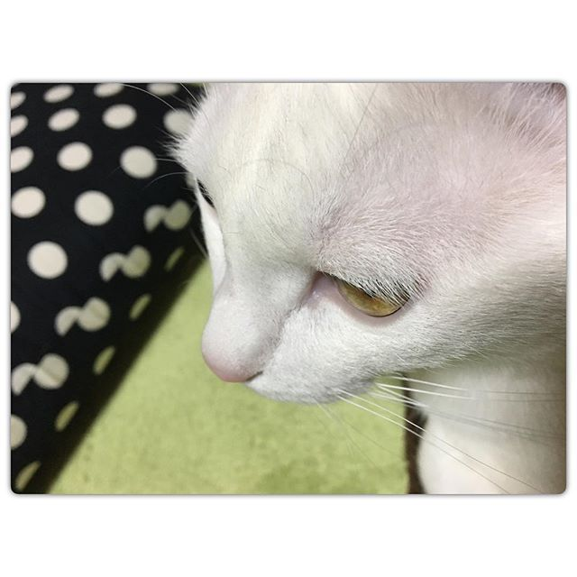 ◆ チョコさんいつもお留守番ご苦労様┏○)) ⁑ 動物はホント純粋✨人間と違って( ̄ー ̄ ) ⁑ #チョコ #愛猫 #白猫 #猫