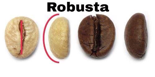 Buongiorno ! Differenze estetiche fra Arabica e Robusta. Proprietà organolettiche totalmente diverse generano un connubio perfetto