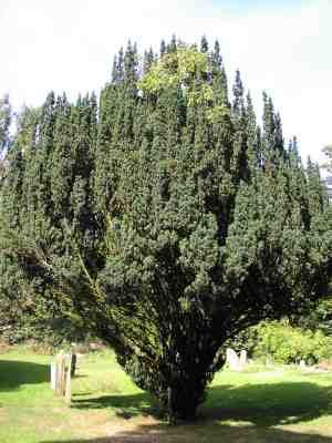 The Yew is considered to be the most potent tree for protection against evil, a means of connecting to your ancestors, a bringer of dreams & otherworld journeys & a symbol of the old magic. In hot weather it gives off a resinous vapour which shamans inhaled to gain visions.