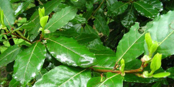 Conosciamo benissimo la pianta dell'Alloro e non penso che ci sia bisogno di descriverla in quanto è talmente diffusa ed utilizzata in cucin...