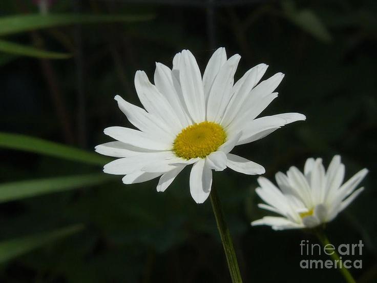 Daisies Photograph  - Daisies Fine Art Print