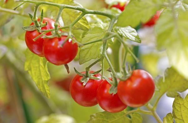 Como plantar tomates em vasos. O tomate é uma das frutas mais consumidas mundialmente e, apesar de não ser um produto caro, em alguns países o quilo pode ter um custo elevado. Por isso, algumas pessoas decidem plantar seus próprios...