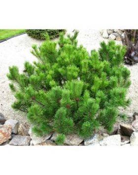Pinus mugo - Havasi törpefenyő