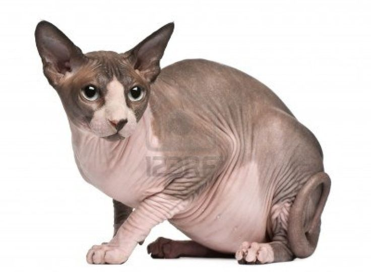 Sphynx kat, 18 maanden oud, zitten voor witte achtergrond Stockfoto