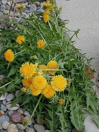 Pacific Northwest Foraging: Wild foods Dandelion (Taraxacum officinale)