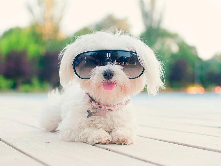 En busca del sol... #Perro con gafas de sol #Bichón #Maltés
