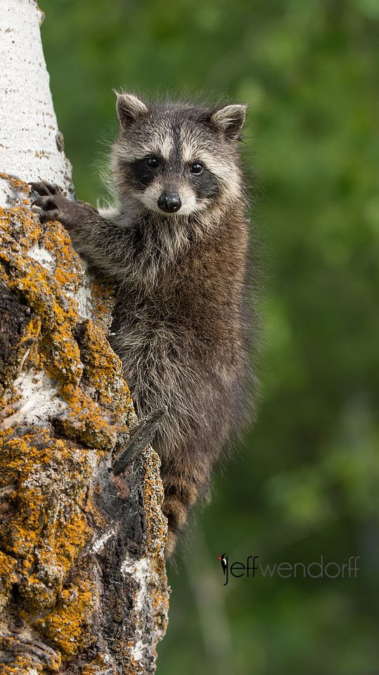 My name is mischief!  Adorable raccoon, photo by Procyon Lotor ...