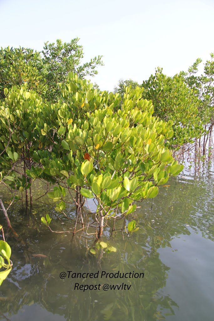 The Procedure and Methodology was shared with Worldview and the Ministry of Environmental Conservation and Forestry. Details will be given on request. Species diversity index is based on random sampling method.  Read more https://wvltv.wordpress.com/2015/06/10/the-aim-of-the-project/  ADOPT A MANGROVE  http://www.thorheyerdahlclimatepark.org/product/mangrove-tree/